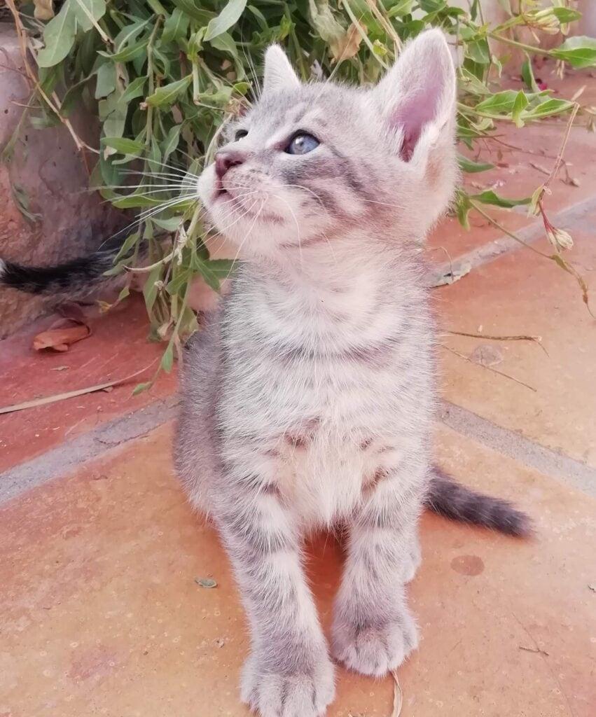 Moroccan Kitten